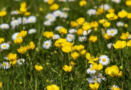 Image result for buttercups and daisies