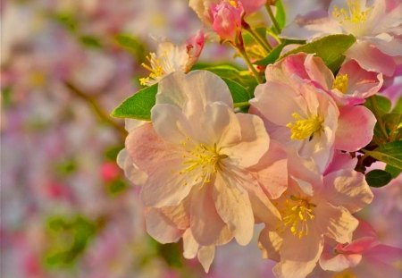 Blossoms in the sun - cherry, flowers, pink, sunshine, blossoms