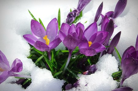 Spring flowers - flowers, spring, crocus, beautiful, pretty, lovely, nice, cold, snow, violet, nature, winter, snowy