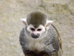 Grumpy Cheeky Common Squirrel Monkey