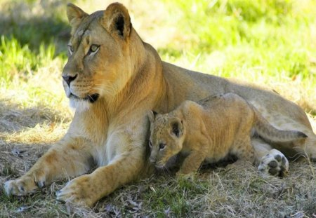 Mother and son - rest, lion, lioness, mother, cub