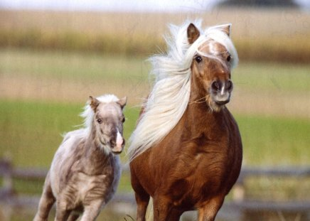 Miniature Mare and Foal - mares and foals, Horses, Miniature horses, galloping horses