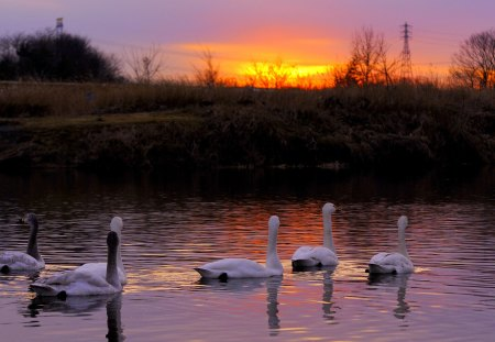 BEAUTIFUL EVENING - lake, swim, swans, evening