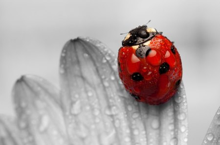 Ladybug - LADYBUGS, Ladybug, INSECTS, RED, FLOWERS