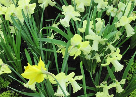 Daffodils celebration day events - Daffodils, photography, Flowers, green, garden, yellow