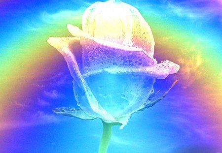 Rainbow Rose - Flowers & Nature Background Wallpapers on ...