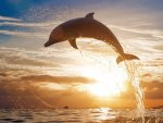 dolphin jump at sunset