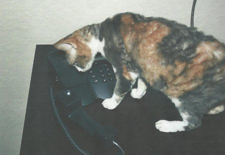 Cat with the phone - phone, calico, feline, cat