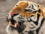 Pretty angry tiger