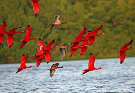 Scarlet - red, scarlet, birds, flying, water