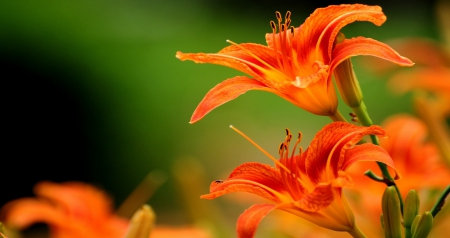 Orange Tiger Lily - Flowers & Nature Background Wallpapers ...