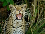 Leopards are the ultimate cats