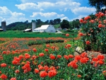 Farm and Poppies Bardstown Kentucky