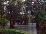 Louisiana Cypress