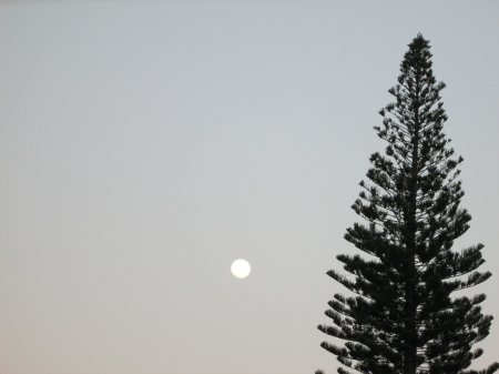 Lonely Moon - moon, pine, tree, full