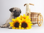 *** Pug with sunflowers ***