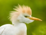 ~Cattle Egret~