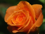 Sweet Rose for My All DN friends ..