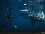 great white and diver