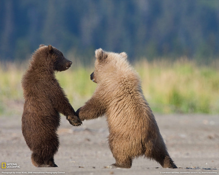 grizzly bear cubs - cute, cubs, bear, grizzly