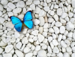 Blue butterfly on white stones