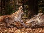 Lynx fighting