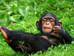 Monkey chimpanzee