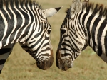 Zebras Admiring Each Other
