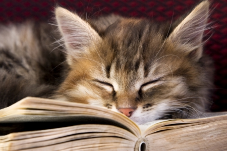 Studious Tabby - Cats & Animals Background Wallpapers on ...