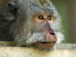 CLOSE UP OF GREY MONKEY