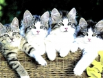 Four tabby kittens