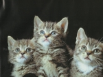 Three tabby kittens