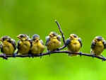 SIX CHICKS on the BRANCH