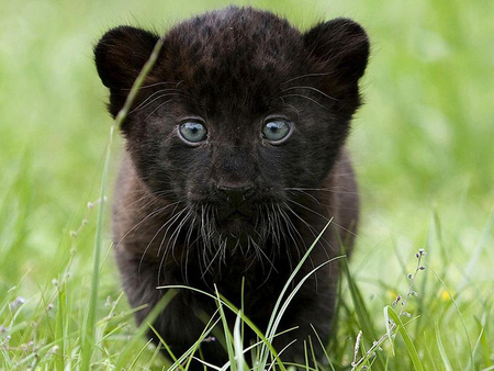 Little Black Panther - black panther, cubs, cub