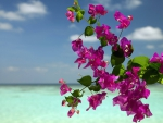 Bougainvillea Flowers on a Beach Bora Bora