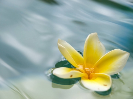 Plumeria Floating On Water Flowers Amp Nature Background