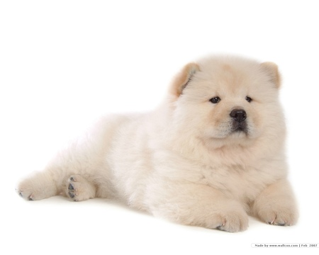 Chow Chow Puppy - dogs, chow chow, puppies