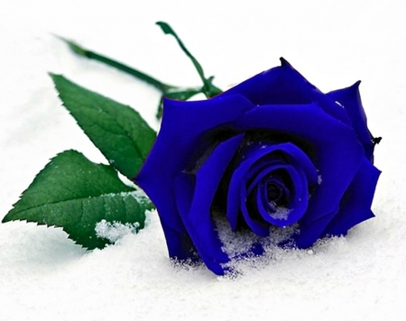Blue rose on snow flowers nature background wallpapers - Rose in snow wallpaper ...