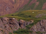 Dall Sheep f2