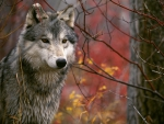 The Lookout Gray Wolf