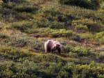 Grizzly at Denali 2