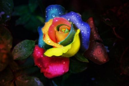 Rainbow rose with water drops flowers nature - Rose with water drops wallpaper ...