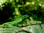 Green Lizard from Sri Lanka