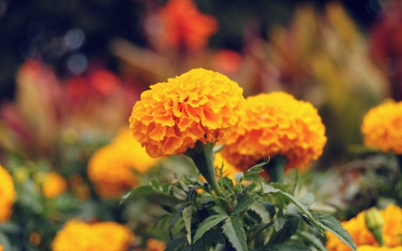 *** Marigold *** - flowers, nature, flower, marigold