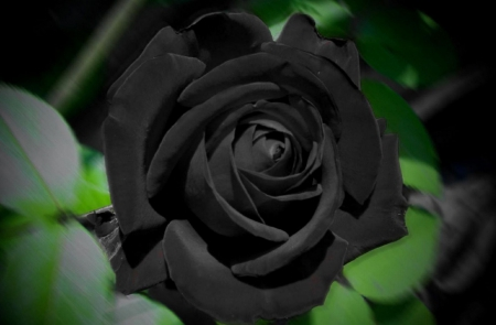 exotic black rose  flowers  nature background wallpapers on, Beautiful flower
