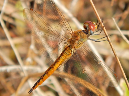 Dragonfly Photography - macro, dragonfly, photography, beautiful