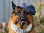 *** German Shepherd ***