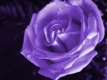 Amazing purple rose