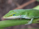 Green Anole Lizard Cute