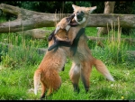 playing maned wolves